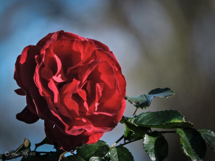 Red Rose-430