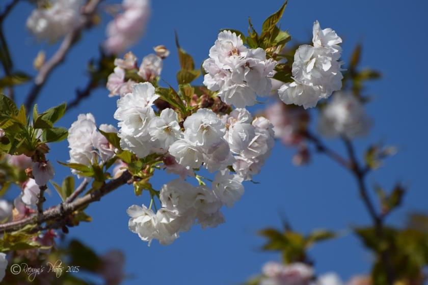 Spring Blossoms-8-4
