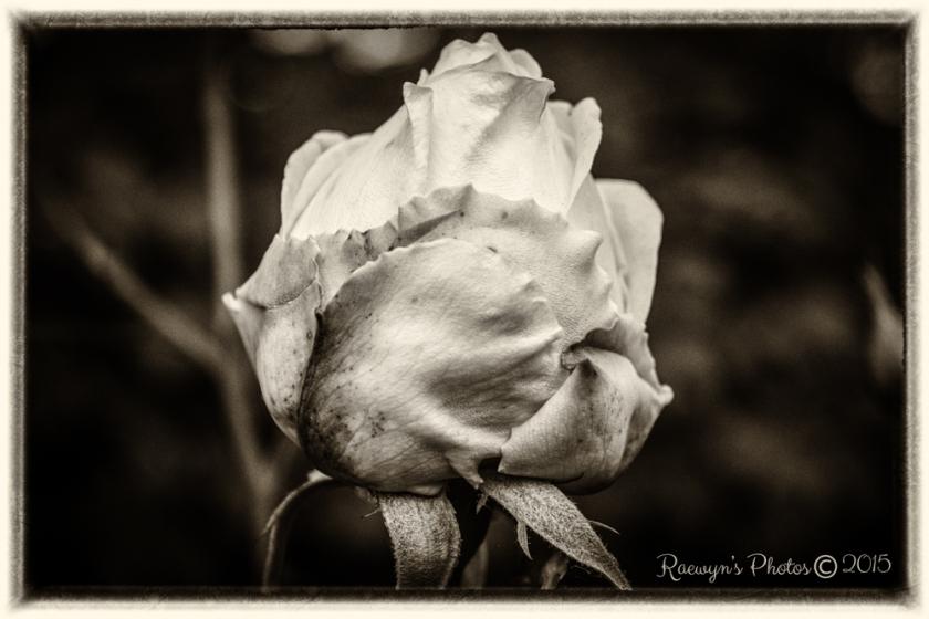 Roses--9